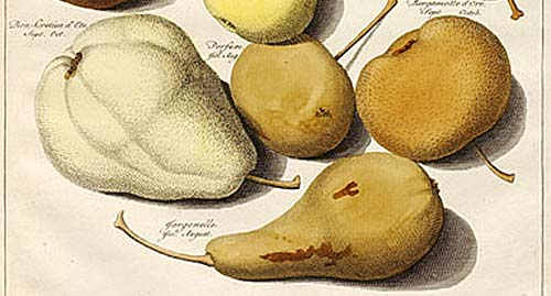 Pears - illustration by Johann Knoop, 1771