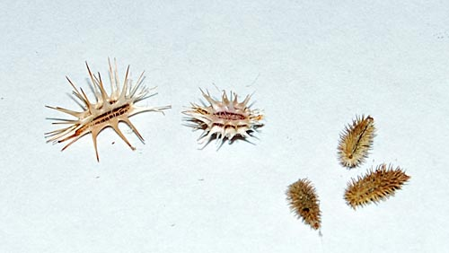 Thorny Seeds