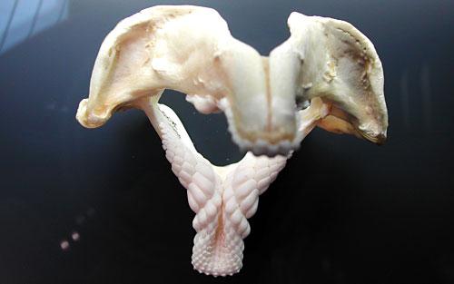 Heterodontus Portusjacksoni shark jaws