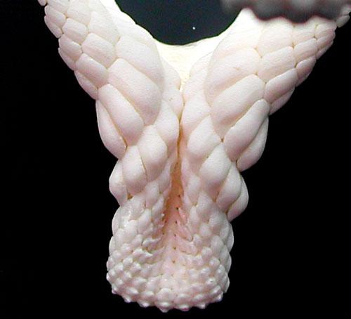 Heterodontus Portusjacksoni shark jaw close-up